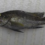 Black Sea Bass (Centropristis striataa)