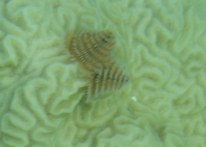 Christmas Tree Worm & Brain Coral