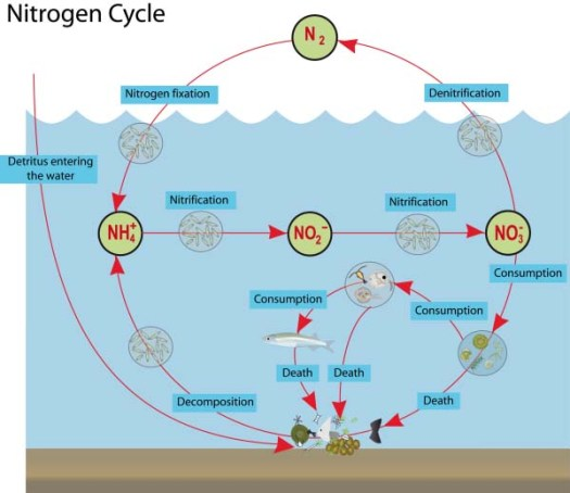 Nitrogen Cycle in the Ocean. Photo credit to: https://wordsinmocean.files.wordpress.com/2012/02/n-cycle.png