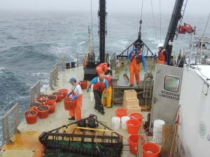"A dredge in action.  Fish, scallops, crabs, starfish and ""trash"" are sorted into baskets and buckets, then taken into the wet lab where they are measured and weighed"