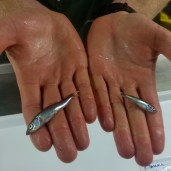 Juvenile rockfish.