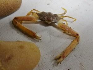 White Elbow Crab (Leiolambrus nitidus)