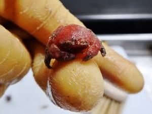 Hairy Sponge Crab (Cryptodromiopsis antillensis)