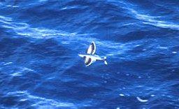 Flying Fish Photo Credit: NOAA