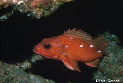 Starry rockfish (Sebastes constellatus)