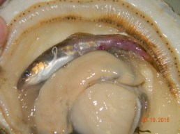 Red hake minnow found in its scallop.