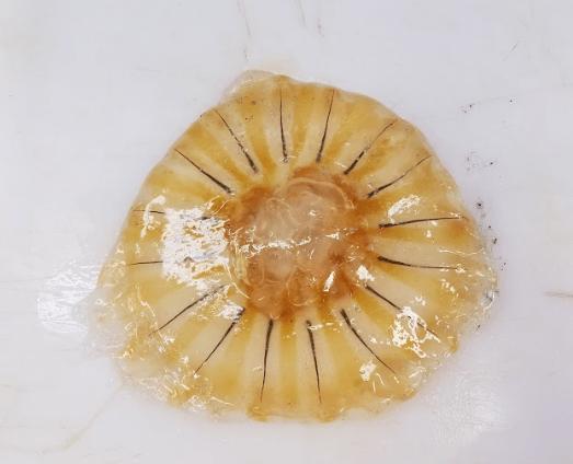 Chrysaora melanaster