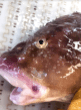 Okhotsk Snailfish side view of face