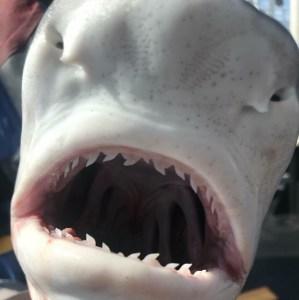juvenile tiger shark