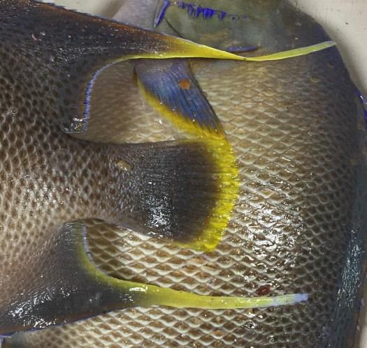 Angelfish closeup