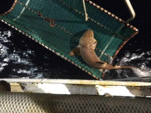 Nurse Shark release