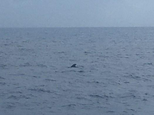 Dorsal fin of a pilot whale