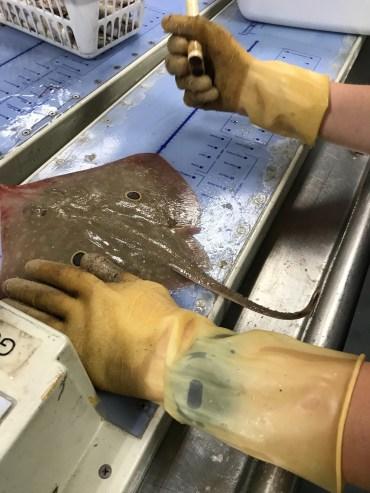 Measuring a stingray