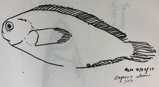 Abigail's prowfish sketch