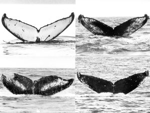 humpback tail flukes