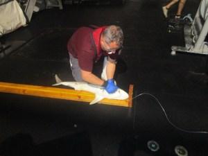 measuring a shark