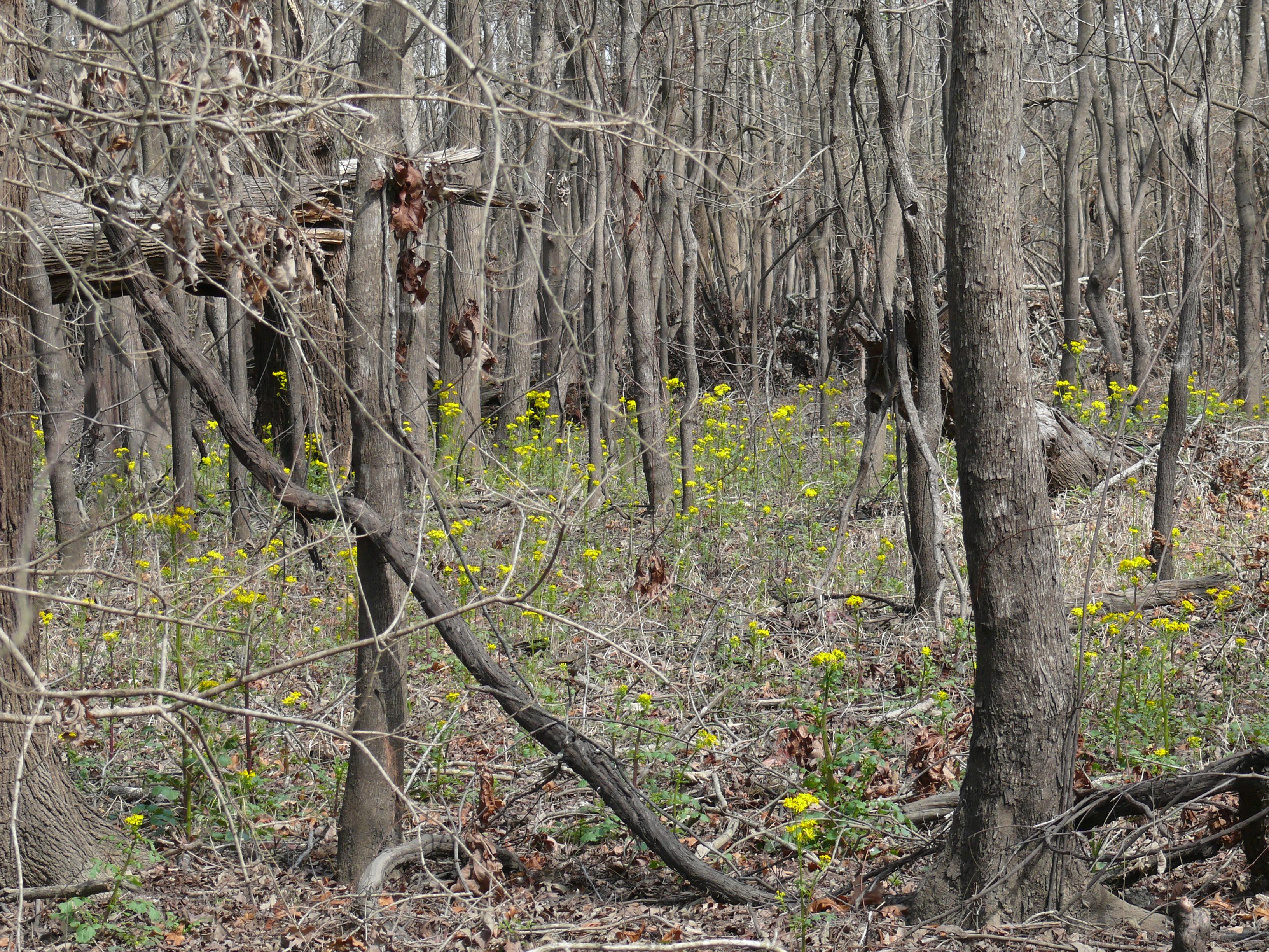 yellowwood