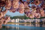 mlk-memorial-from-across-tidal-basin-surrounded-by-blossoms_credit-fred-dunn