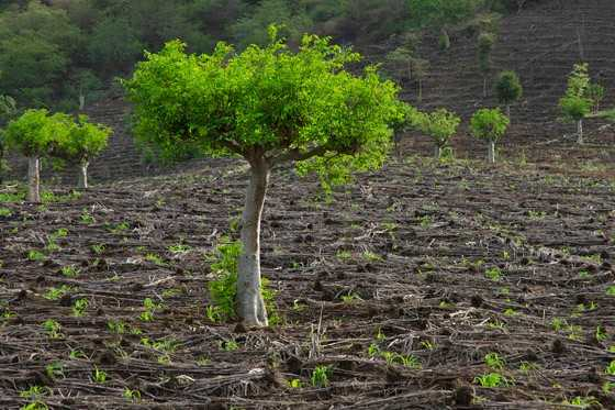 Árvores de moringa no meio de uma plantação de milho perto da Arba Minch, no sul da Etiópia (Foto: © Haroldo Castro/Época)