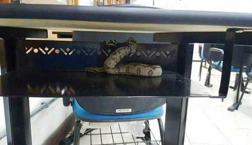 Após temporal, cobra aparece dentro Universidade Federal do Amazonas / Divulgação