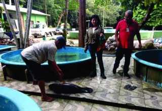 IPAAM resgata filhote de Peixe-Boi em Manacapuru/ Foto: Assessoria de comunicação do IPAAM.