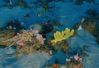 Recife a 70 metros de profundidade, com esponjas e peixes recifais. Foto: Ronaldo F.F./Greenpeace