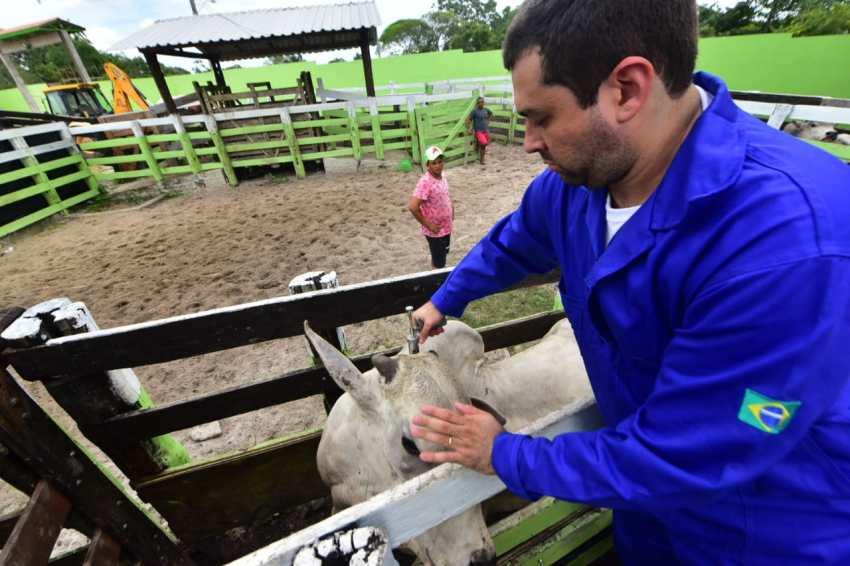 Gados vacinados / Foto : Tácio Melo