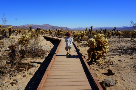 Cholla Cactus Garden - Joshua Tree National Park Hiking
