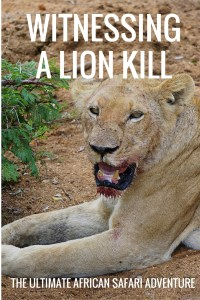 The ultimate safari quest for many is bearing witness to a lion kill. A mesmerizing act of nature unedited before your eyes.