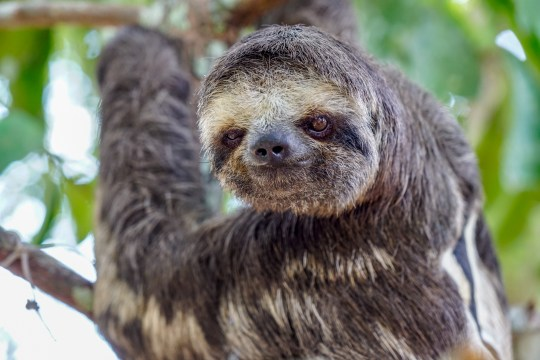 the cutest sloth in the Amazon Rainforest