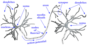 The Brain and Nervous System | Noba