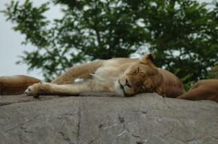 Auch Löwen brauchen mal eine Pause