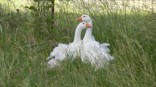 Sebastopol Geese out Applegate Valley Lavender Farm