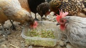 A snack of sprouts I grew enjoyed by a few hens.