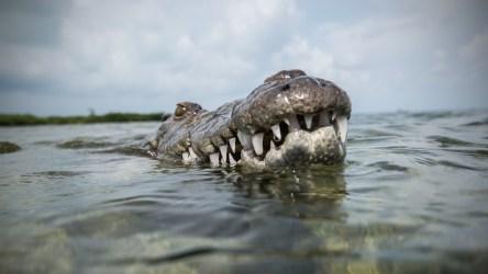 Домохозяйка отправила в нокаут крупного крокодила