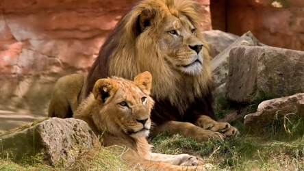 Валлийского регбиста Скотта Болдуина укусил лев