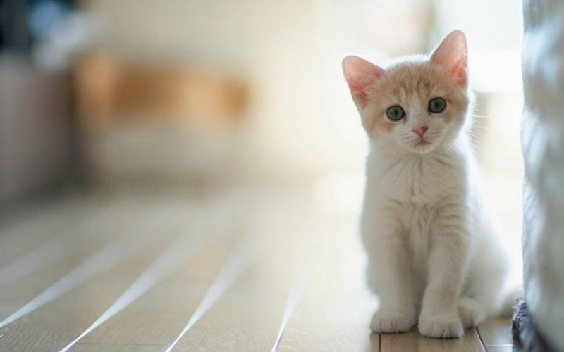 В чём заключается опасность кошачьих царапин для человека?