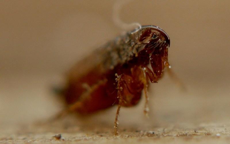 Насколько опасен укус блохи для человека (фото)