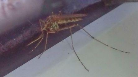 Комариный сезон, или каких комаров человеку не следует опасаться