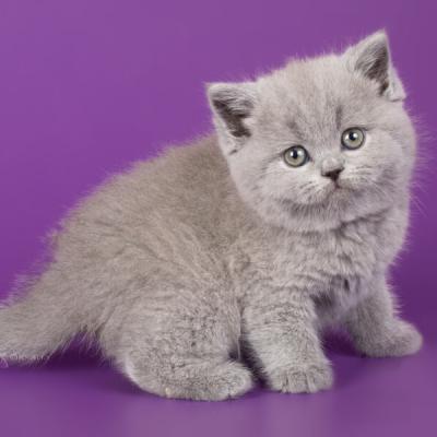 Фото британских голубых котят и лилового британского котёнка