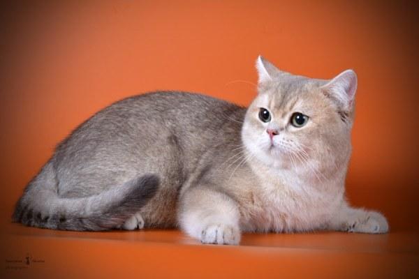 Фото котов британцев окраса голубое и чёрное золото