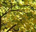 redbud-in-fall.jpg