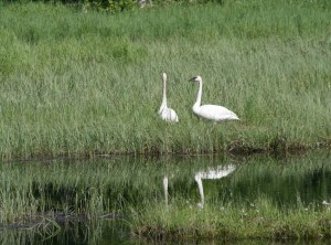 Trumpeter-Swans-Enroute-to-