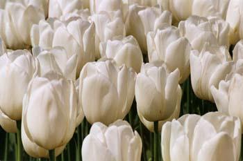 Blanket of Tulips
