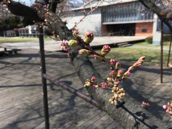 今日の東工大の桜 2018年3月25日(月) 3