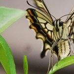 アゲハ蝶-2