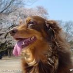 代々木公園-桜(4/3現在)
