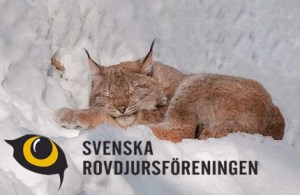 Sleeping Lynx (Photo by Ingemar Pettersson)