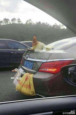 chickencar1-1