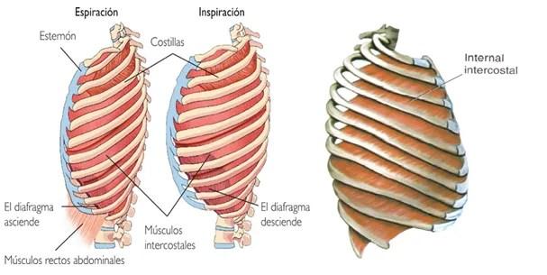 Dolor en el costado al respirar: vigila el músculo intercostal